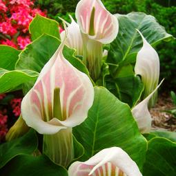 Растение бересклет  посадка и уход размножение и обрезка